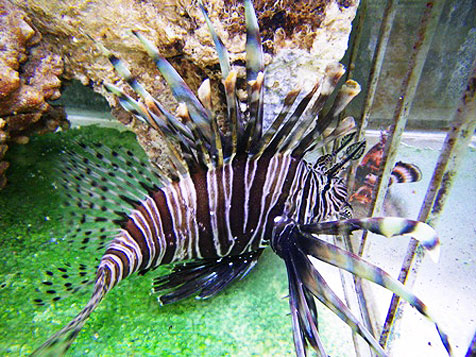 Pterois volitans lionfish collected in the Atlantic awaits shipment to a home aquarium. Image courtesy Scott Hughes, Saltwaterfish.com